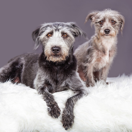 fur: Two adorable little scruffy terrier crossbreed dogs laying on a white furry blanket Stock Photo