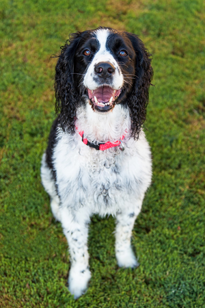 springer spaniel: Cute young and happy English Springer Spaniel dog sitting on green grass and looking up at the camera Stock Photo