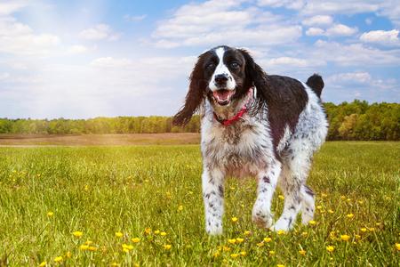 De jonge en actieve Engelse hond die van het Aanzetsteenspaniel op het gras in een park op een zonnige de zomerdag lopen