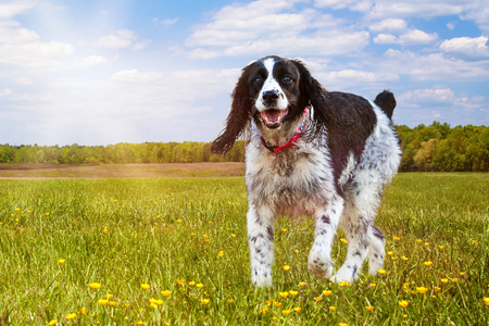 Young and active English Springer Spaniel dog running on the grass in a park on a sunny summer day