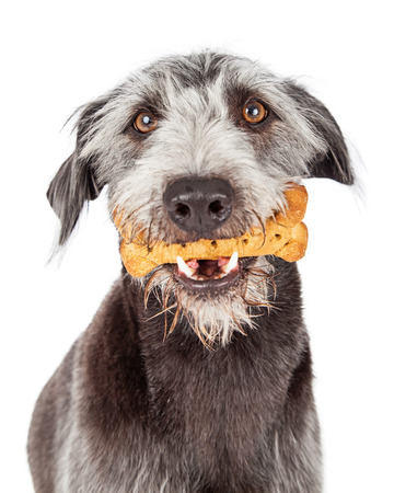 dog biscuit: Large terrier mixed breed dog holding a bone shaped biscuit in his mouth