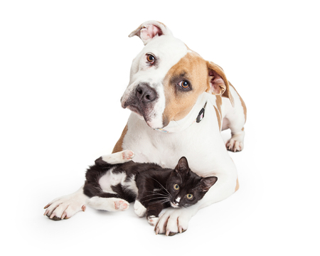 Beautiful and friendly Pit Bull dog with a playful little kitten laying across her legs