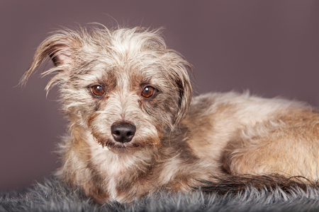 breed: Adorable little scruffy terrier dog laying on a fur blanket and looking forward