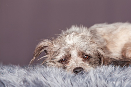 breed: Adorable terrier crossbreed dog laying on a fur blanket with a grey color studio background