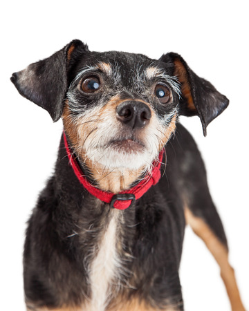 small dog: Closeup of a curious Dachshund and Chihuahua mixed breed dog looking upwards.  Dog is wearing a bright red collar. Stock Photo