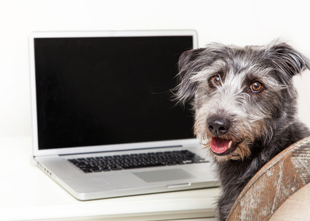 Happy scruffy terrier mixed breed dog sitting next to a laptop computer with a blank screen to enter your website image onto Stock Photo