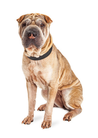sharpei: A beautiful and obedient Shar Pei puppy dog with wrinkled skin sitting on a white studio background and looking straight forward into the camera