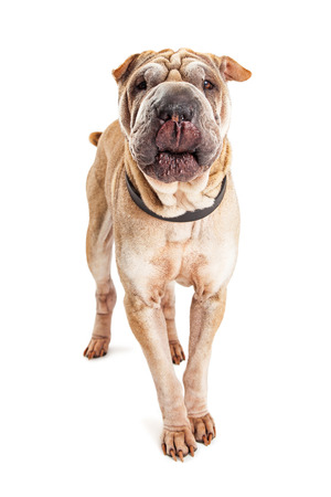 sharpei: Beautiful young Shar Pei breed dog with wrinkled skin walking forward with tongue out to lick his lips