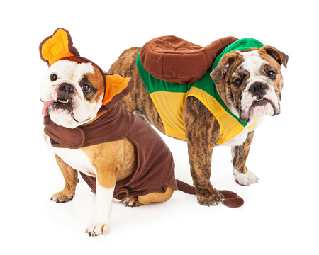 dog in costume: Two cute Bulldog breed dogs wearing funny Halloween costumes as a turtle and monkey Stock Photo