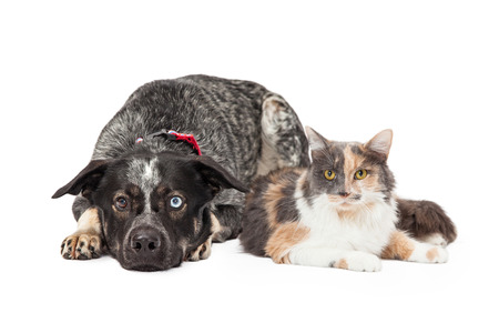 calico: Beautiful Australian Shepherd mixed breed dog laying down next to a pretty calico cat