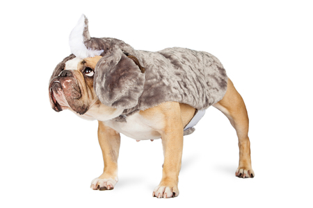 dressed up: Funny Bulldog breed dog dressed up in a rhinoceros costume standing to the side