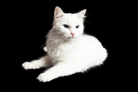 angry cat: Pretty cat with a white coat laying on a black background with an angry expression
