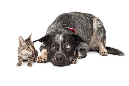 molesto: Gran perro pastor cruce paciente que se establecen al lado de un peque�o gatito que le es molesto