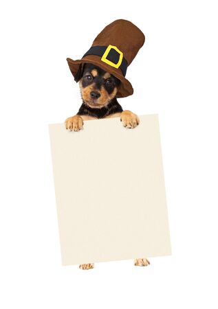 animals and pets: Cute puppy wearing a Thanksgiving pilgrim hat standing up and holding a blank sign to enter your marketing message onto