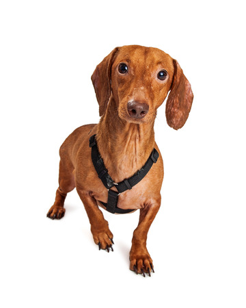Cute little Dachshund crossbreed dog wearing a black harness that is alert and ready to go for a walk