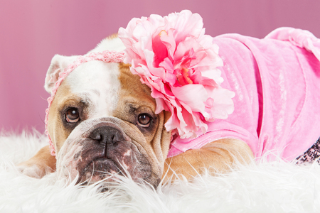 dressed: Adorable female English Bulldog breed dog wearing a pink outfit and big flower headband laying on a white fur blanket