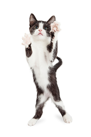 Adorable playful little black and white four month old kitten standing up on hind legs with front paws up to bat and play
