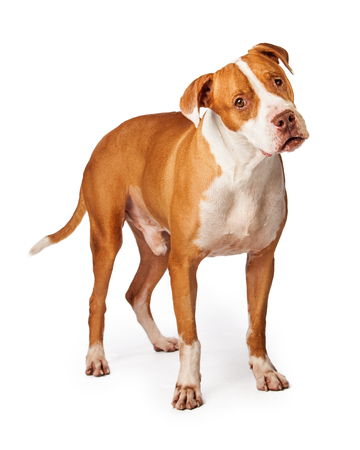 head tilted forward: Cute and curious Pit Bull breed dog standing and looking forward with tilted head