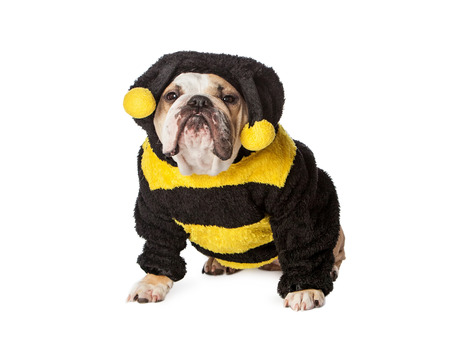 dressed: Funny Bulldog breed dog dressed in a Halloween bumble bee costume with an upset expression