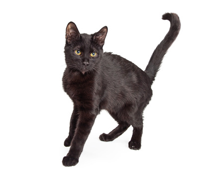 short haired: Black short haired cat standing to the side and arching his back up