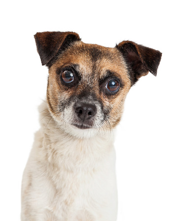 looking directly at camera: A very inquisitive Jack Russell and Chihuahua mixed breed dog looking directly into the camera.