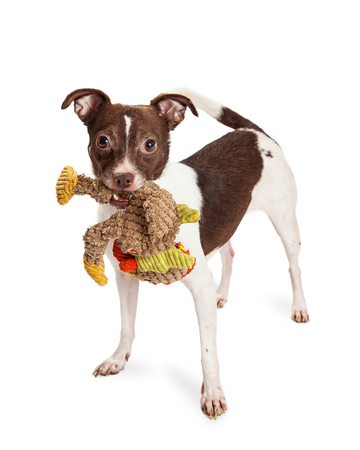 stuffed toy: Cute and playful small terrier mixed breed dog with brown and white coat carrying a ripped up stuffed bird toy in his mouth