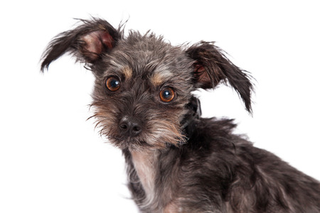 scruffy: A cute and scruffy terrier and chihuahua mixed breed dog close up.