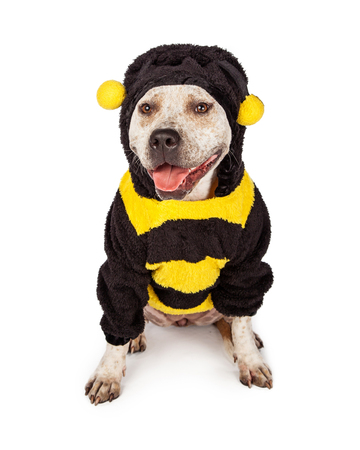 bull dog: Cute and funny pit bull dog wearing a Halloween bumble bee costume Stock Photo