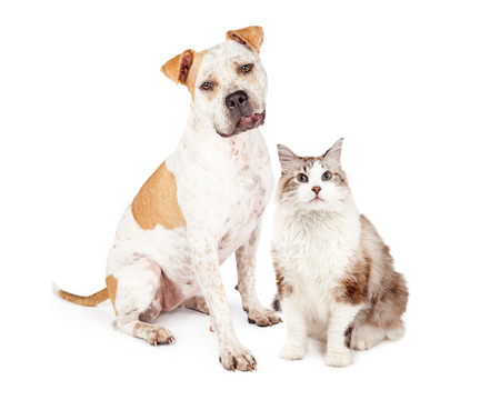 dog white background: Sweet and friendly Pit Bull dog sitting down next to a pretty long hair cat Stock Photo