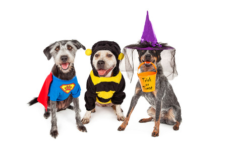 costumes: Three adorable dogs wearing Halloween costumes including super hero, bumble bee and witch