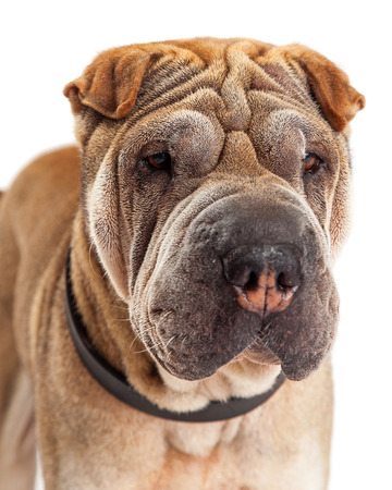 sharpei: Closeup image of a beautiful young Shar Pei breed dog with wrinkled skin