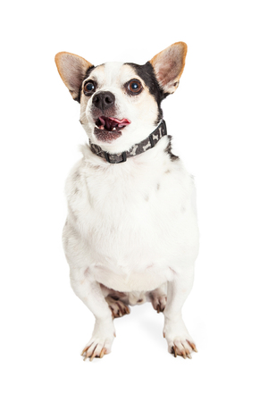licking tongue: An adult Chihuahua mixed breed dog sitting on a white background and licking lips with tongue