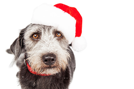 st nick: Cute terrier crossbreed dog wearing red collar and Santa Claus hat closeup