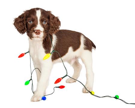 クリスマス ライトのかわいい 7 週古い子犬彼の周りラップ