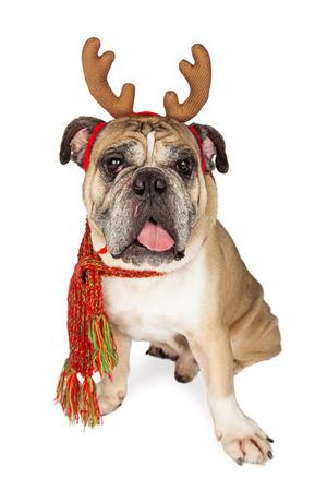 renna: Carino e divertente bulldog cane di razza indossando corna di renna di natale e una sciarpa al collo