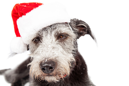 st nick: Dog with funny angry expression wearing a red Christmas Santa Claus hat and snow on face