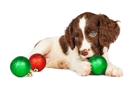cute puppy: Cute seven week old English Springer Spaniel Puppy playing with Christmas decorations Stock Photo