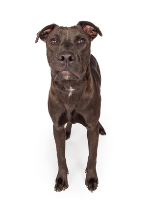 breed: A one year old dark brown color Labrador Retriever and Pit Bull mixed breed dog standing on a white background looking forward