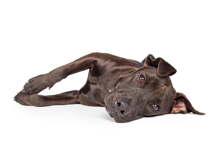 black and white pit bull: A one year old dark brown color Labrador Retriever and Pit Bull mixed breed dog laying on his side and looking into camera