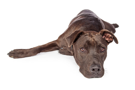 laying forward: A one year old dark brown color Labrador Retriever and Pit Bull mixed breed dog laying on a white background looking forward