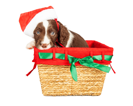 st nick: Cute little puppy in a basket with Christmas color liner wearing Santa Claus hat