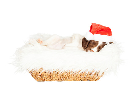 st  nick: Cute young puppy wearing Christmas Santa Claus hat laying in a basket on a white fur blanket
