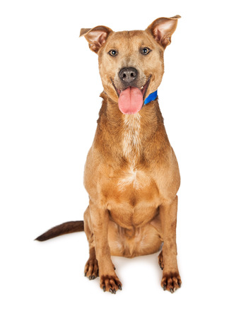 breed: Cute and happy tan color mixed shepherd breed dog with tongue out sitting on a white background