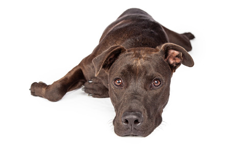 laying forward: A one year old dark brown color Labrador Retriever and Pit Bull mixed breed dog laying on white background looking forward