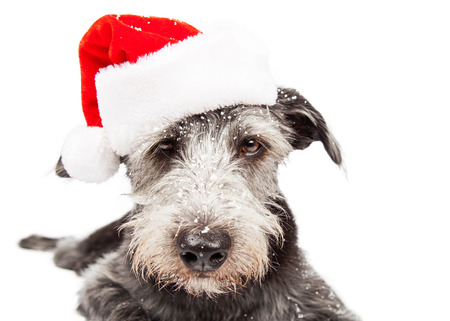 st nick: Closeup terrier crossbreed dog wearing Christmas Santa Claus hat with snow on face Stock Photo