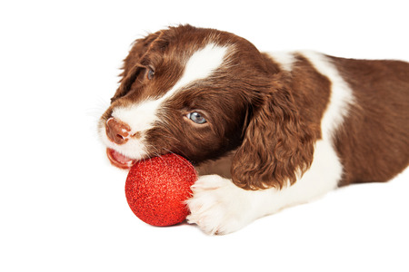 springer: Cute seven week old English Springer Spaniel puppy laying chewing on Christmas decoration
