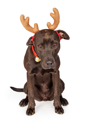 labrador christmas: Labrador and Pit Bull crossbreed dog wearing Christmas reindeer antlers and bell collar