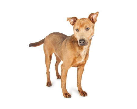 medium size: Cute tan color medium size shepherd crossbreed dog standing on a white background