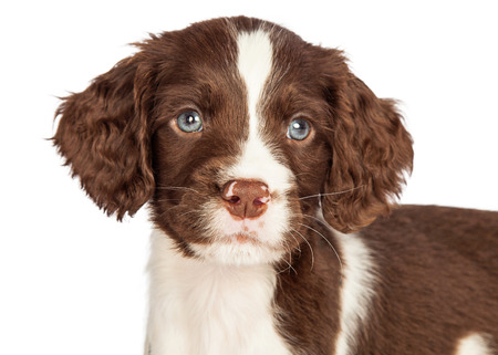 closeup puppy: Head shot portrait of a cute seven week old English Springer Spaniel puppy dog