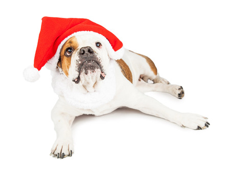 st nick: Cute Bulldog breed dog laying down and looking up while wearing a red Christmas Santa Claus hat